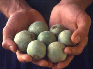 Tui-tui nuts are the traditional juggling prop in Tonga